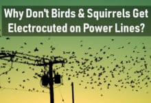 Photo of Why Don't Birds and Squirrels Get Electrocuted on Power Lines?